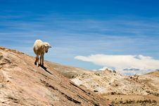Free Sheep On Isla Del Sol - Titicaca Royalty Free Stock Photos - 8073708