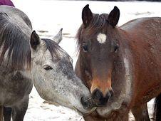 Free Two Horses Royalty Free Stock Photo - 8074165