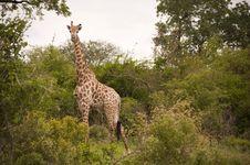 Free Giraffe Royalty Free Stock Images - 8074269