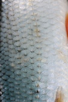 Free Fish Scales Royalty Free Stock Photography - 8074417