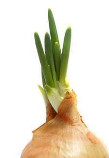 Spring Onion Isolated .Green Onion Royalty Free Stock Photos