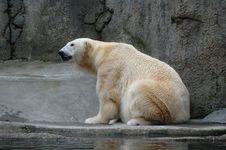 Free Polar Bear Stock Photo - 8075120