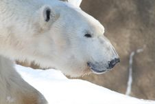 Free Polar Bear Royalty Free Stock Photography - 8076437