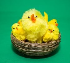 Free Spring Chickens Royalty Free Stock Photo - 8078105