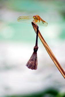 Free Dragonfly Stock Photos - 8078743