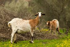 Free Two Goats Stock Photography - 8078782