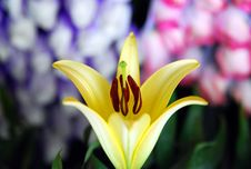 Free Yellow Lily Royalty Free Stock Photography - 8078797