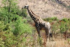 Free Giraffe Royalty Free Stock Image - 8079366
