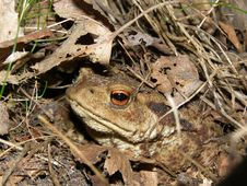 Free Secret Toad Stock Image - 8079541