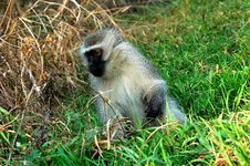 Free Monkey Stock Photo - 8079620