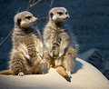 Free Meerkat 5 Royalty Free Stock Photo - 8082865