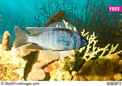 Silver Blue Fish In The Aquarium Free Stock Photos