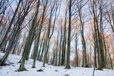Free Winter Forest Royalty Free Stock Photography - 8080257