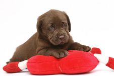 Free Chocolate Puppy With A Red Toy. Royalty Free Stock Photos - 8080278