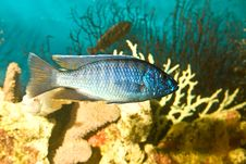 Silver Blue Fish In The Aquarium Stock Photography