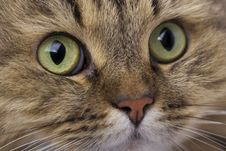 Free Cat Close-up Royalty Free Stock Photo - 8081705