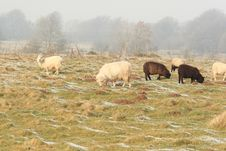Free Winter Sheep Grazing Pasture With Snow Stock Images - 8081844