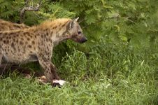 Free Hungry Hyenas Stock Photo - 8081910