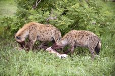 Free Hungry Hyenas Stock Photo - 8081940