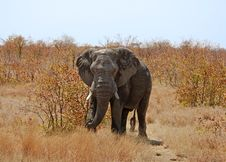 Africa Elephant Royalty Free Stock Photos