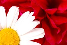 Free White Daisy Stock Photos - 8083413