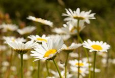Camomile Field Royalty Free Stock Photos