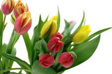 Free Tulips Stock Image - 8084031