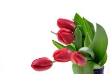 Free Tulips Stock Photography - 8084112