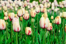 Free Red And Yellow Spring Tulips Stock Photos - 8084323