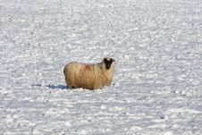 Free Sheep In The Snow Royalty Free Stock Photography - 8084377
