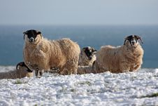 Free Sheep In The Snow Royalty Free Stock Photos - 8084518