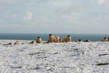 Free Sheep In The Snow Stock Photo - 8084670