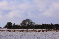 Free Sheep In The Snow Royalty Free Stock Images - 8084699