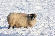 Free Sheep In The Snow Royalty Free Stock Image - 8085396