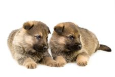 Free Two Sheep-dogs Puppys Stock Images - 8086054