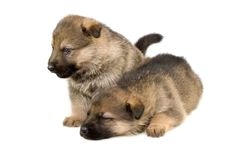 Free Two Sheep-dogs Puppys Royalty Free Stock Photos - 8086578