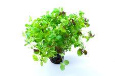 Free Green Oregano Royalty Free Stock Photography - 8087237