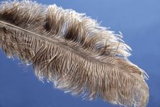 Free Ostrich Plume Royalty Free Stock Photos - 8087378