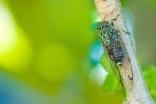 Free Cicada Stock Photo - 8087390