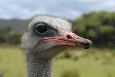 Free Ostrich Royalty Free Stock Photo - 8088155