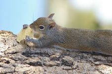 Free Squirrel Eating Chips Stock Photography - 8088202