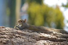 Free Cute Squirrel Posing With Chips Royalty Free Stock Photos - 8088278