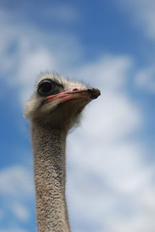 Free Ostrich Stock Photography - 8088292