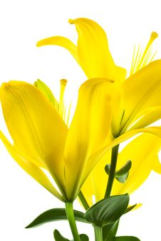 Free Yellow Lily Stock Photo - 8088530