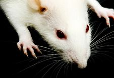 Free White Rat Royalty Free Stock Photography - 8088777