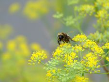 Free Bumble Bee On Yellow Flowers Stock Photos - 8089013
