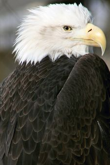 Free American Bald Eagle Stock Photo - 8089340