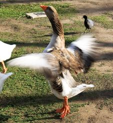 Free Flapping Brown Goose Stock Photos - 8089753