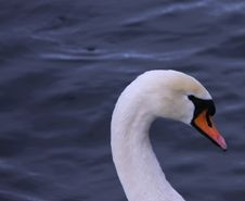 Free Close Up Of Mute Swan Royalty Free Stock Photos - 8089828