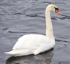 Free Cygnus Olor (Mute Swan) Stock Photos - 8089833